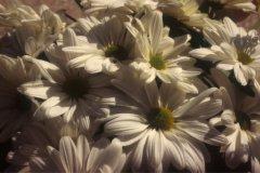 rsz_daisies